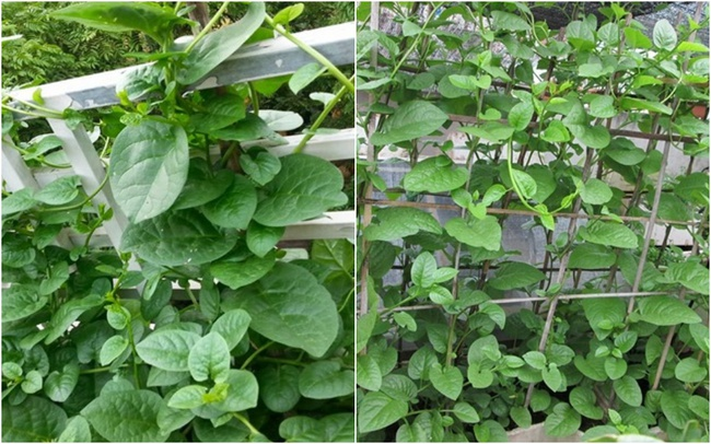 Mách các mẹ hai cách trồng mùng tơi bội thu trên sân thượng mùa hè - Ảnh 4.