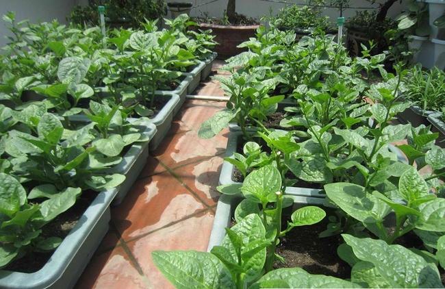 Mách các mẹ hai cách trồng mùng tơi bội thu trên sân thượng mùa hè - Ảnh 5.