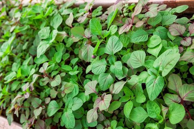 4 mẹo siêu hay khi trồng rau đay, rau dền để cả hè không lo thiếu rau ăn - Ảnh 3.
