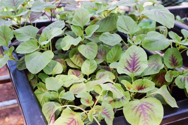 4 mẹo siêu hay khi trồng rau đay, rau dền để cả hè không lo thiếu rau ăn - Ảnh 8.