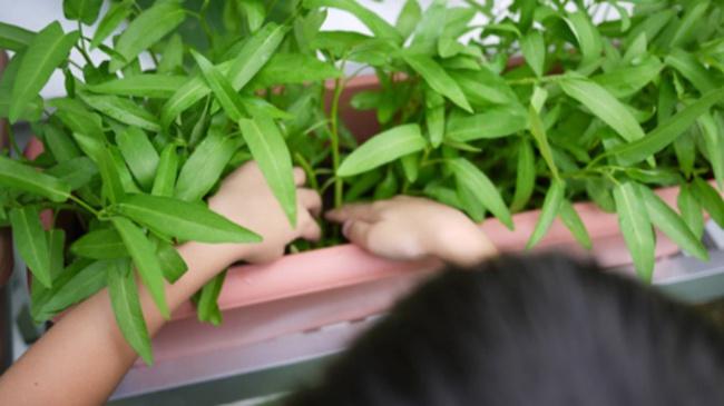 Cách trồng rau muống bằng cành lớn nhanh như thổi kịp đón mùa hè - Ảnh 2.