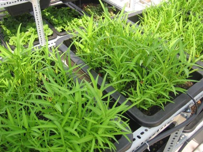 Cách trồng rau muống bằng cành lớn nhanh như thổi kịp đón mùa hè - Ảnh 3.