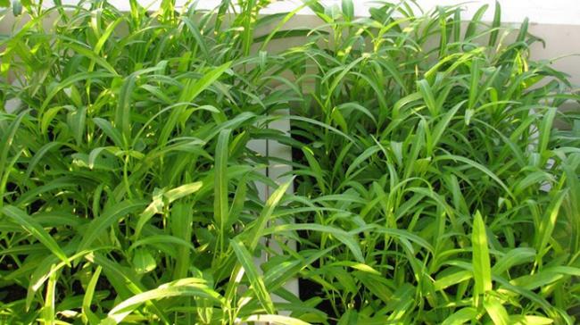 Cách trồng rau muống bằng cành lớn nhanh như thổi kịp đón mùa hè - Ảnh 4.