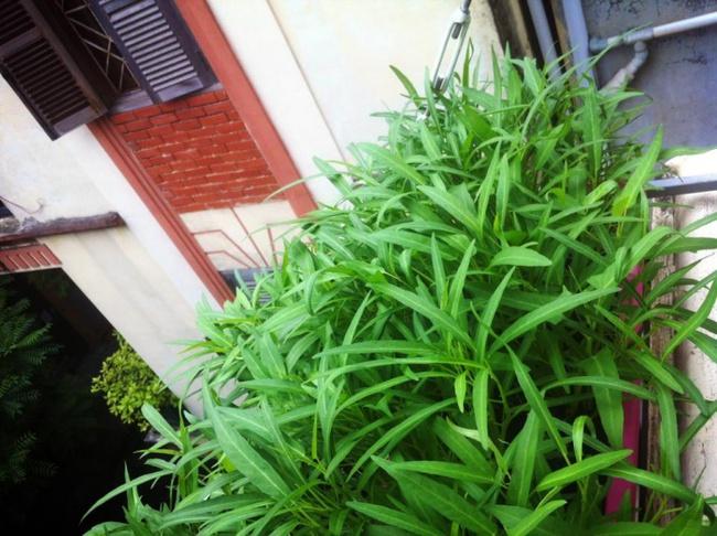 Cách trồng rau muống bằng cành lớn nhanh như thổi kịp đón mùa hè - Ảnh 5.