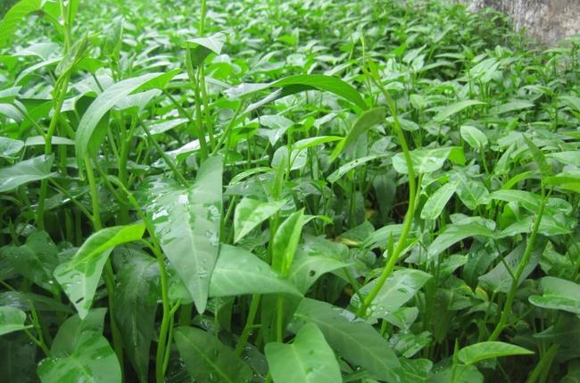 Cách trồng rau muống bằng cành lớn nhanh như thổi kịp đón mùa hè - Ảnh 6.