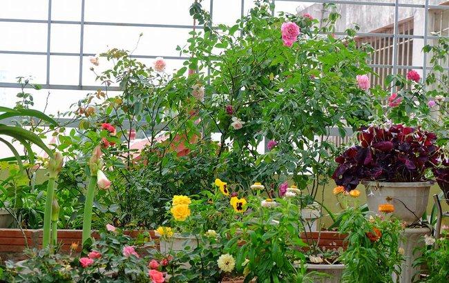 Người phụ nữ Hà Thành dành 8 năm cho niềm đam mê biến sân thượng thành góc vườn hoa rực rỡ - Ảnh 3.