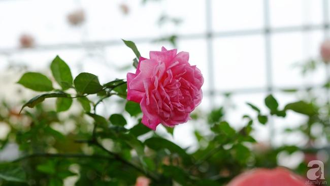 Người phụ nữ Hà Thành dành 8 năm cho niềm đam mê biến sân thượng thành góc vườn hoa rực rỡ - Ảnh 7.