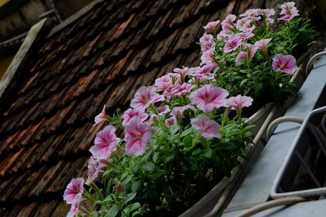 Người phụ nữ Hà Thành dành 8 năm cho niềm đam mê biến sân thượng thành góc vườn hoa rực rỡ - Ảnh 10.