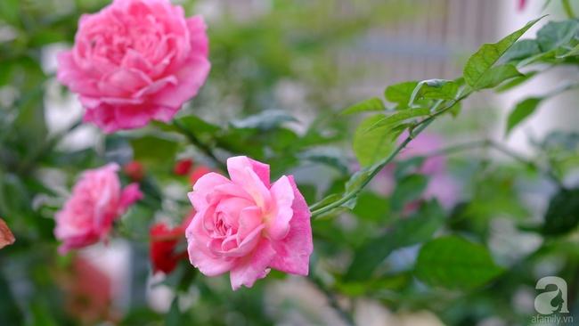 Người phụ nữ Hà Thành dành 8 năm cho niềm đam mê biến sân thượng thành góc vườn hoa rực rỡ - Ảnh 21.