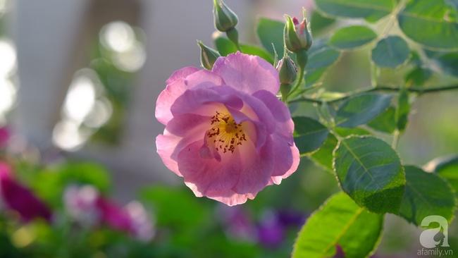 Người phụ nữ Hà Thành dành 8 năm cho niềm đam mê biến sân thượng thành góc vườn hoa rực rỡ - Ảnh 27.