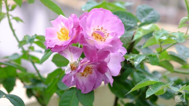 Người phụ nữ Hà Thành dành 8 năm cho niềm đam mê biến sân thượng thành góc vườn hoa rực rỡ - Ảnh 28.