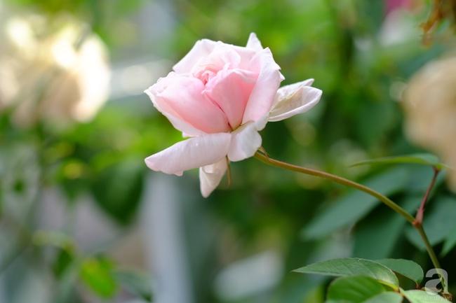 Người phụ nữ Hà Thành dành 8 năm cho niềm đam mê biến sân thượng thành góc vườn hoa rực rỡ - Ảnh 30.