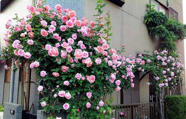 Khu vườn hoa hồng đẹp như cổ tích trên sân thượng của cô sinh viên trẻ - Ảnh 4.