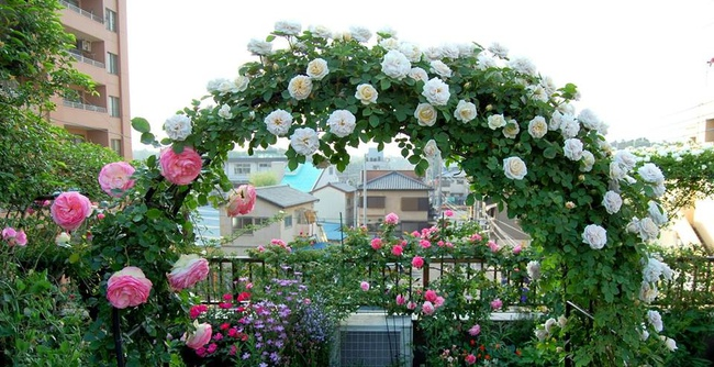 Khu vườn hoa hồng đẹp như cổ tích trên sân thượng của cô sinh viên trẻ - Ảnh 8.