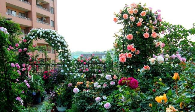 Khu vườn hoa hồng đẹp như cổ tích trên sân thượng của cô sinh viên trẻ - Ảnh 10.