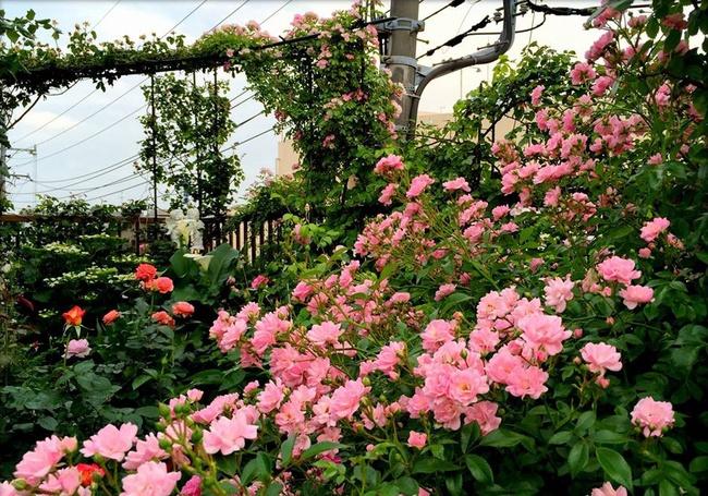 Khu vườn hoa hồng đẹp như cổ tích trên sân thượng của cô sinh viên trẻ - Ảnh 12.