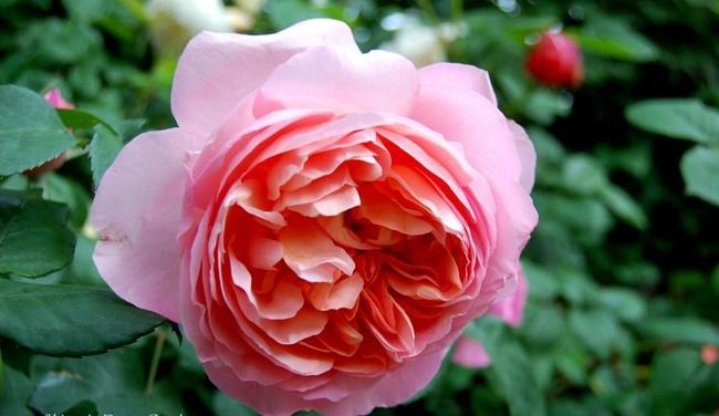 Khu vườn hoa hồng đẹp như cổ tích trên sân thượng của cô sinh viên trẻ - Ảnh 13.