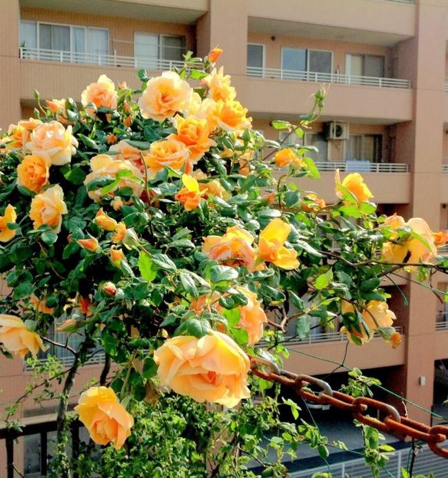 Khu vườn hoa hồng đẹp như cổ tích trên sân thượng của cô sinh viên trẻ - Ảnh 14.