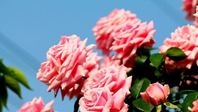 Khu vườn hoa hồng đẹp như cổ tích trên sân thượng của cô sinh viên trẻ - Ảnh 16.