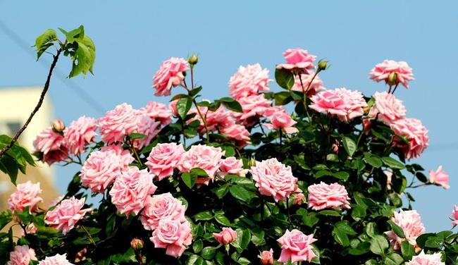 Khu vườn hoa hồng đẹp như cổ tích trên sân thượng của cô sinh viên trẻ - Ảnh 17.