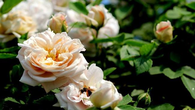 Khu vườn hoa hồng đẹp như cổ tích trên sân thượng của cô sinh viên trẻ - Ảnh 19.