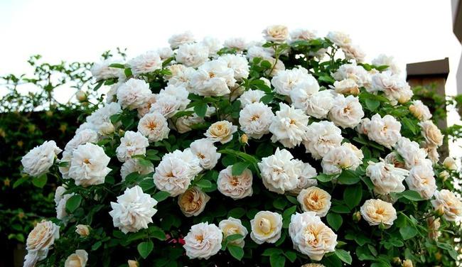 Khu vườn hoa hồng đẹp như cổ tích trên sân thượng của cô sinh viên trẻ - Ảnh 20.