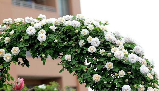 Khu vườn hoa hồng đẹp như cổ tích trên sân thượng của cô sinh viên trẻ - Ảnh 22.