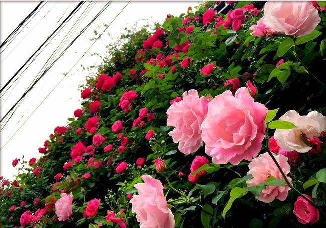 Khu vườn hoa hồng đẹp như cổ tích trên sân thượng của cô sinh viên trẻ - Ảnh 24.