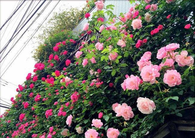 Khu vườn hoa hồng đẹp như cổ tích trên sân thượng của cô sinh viên trẻ - Ảnh 25.