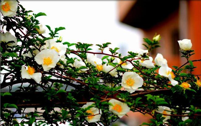 Khu vườn hoa hồng đẹp như cổ tích trên sân thượng của cô sinh viên trẻ - Ảnh 26.