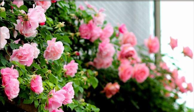 Khu vườn hoa hồng đẹp như cổ tích trên sân thượng của cô sinh viên trẻ - Ảnh 27.