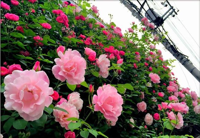 Khu vườn hoa hồng đẹp như cổ tích trên sân thượng của cô sinh viên trẻ - Ảnh 28.