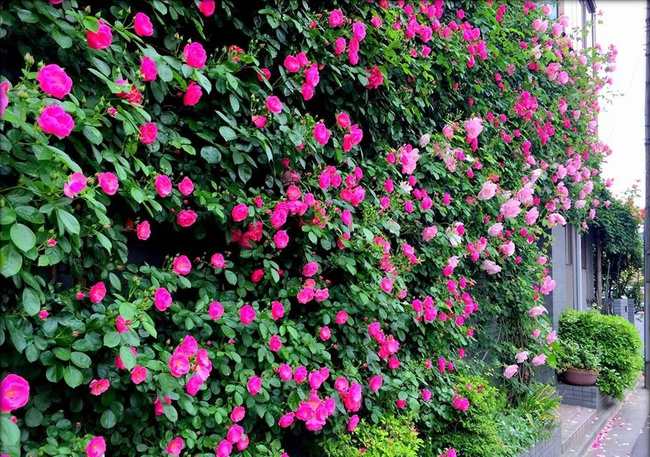 Khu vườn hoa hồng đẹp như cổ tích trên sân thượng của cô sinh viên trẻ - Ảnh 29.