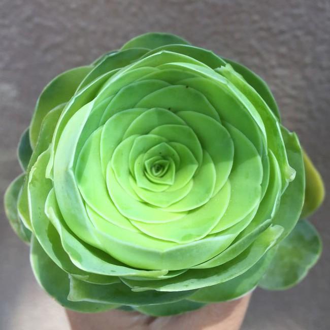 Cách trồng cây lá bỏng hình hoa hồng xanh đang làm đảo điên chị em trên mạng xã hội - Ảnh 2.