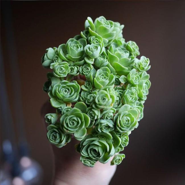 Cách trồng cây lá bỏng hình hoa hồng xanh đang làm đảo điên chị em trên mạng xã hội - Ảnh 4.