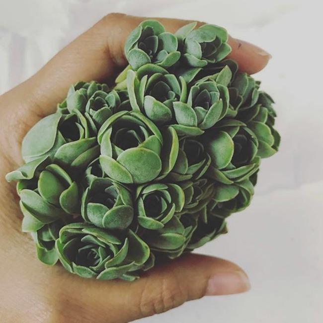 Cách trồng cây lá bỏng hình hoa hồng xanh đang làm đảo điên chị em trên mạng xã hội - Ảnh 7.