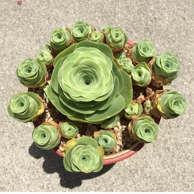 Cách trồng cây lá bỏng hình hoa hồng xanh đang làm đảo điên chị em trên mạng xã hội - Ảnh 9.