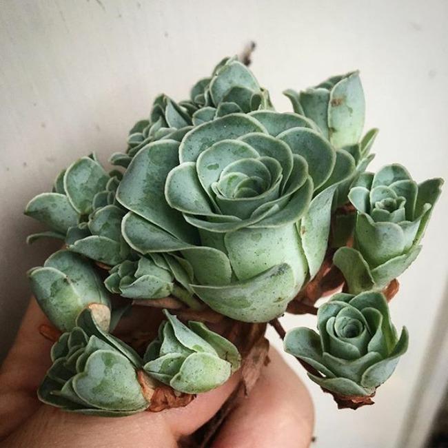 Cách trồng cây lá bỏng hình hoa hồng xanh đang làm đảo điên chị em trên mạng xã hội - Ảnh 14.