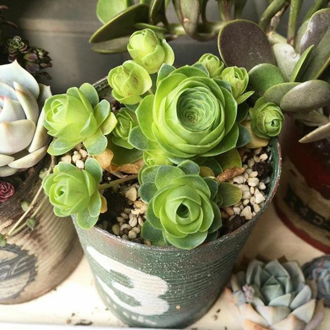 Cách trồng cây lá bỏng hình hoa hồng xanh đang làm đảo điên chị em trên mạng xã hội - Ảnh 23.
