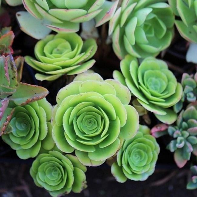 Cách trồng cây lá bỏng hình hoa hồng xanh đang làm đảo điên chị em trên mạng xã hội - Ảnh 28.