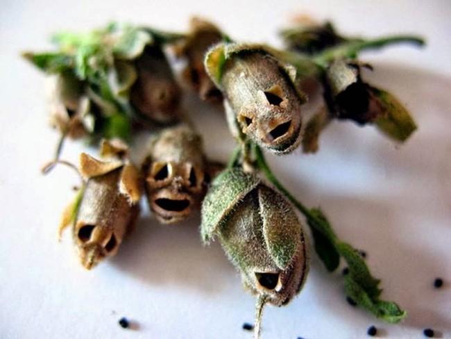 Loài hoa kì lạ tuyệt đẹp mang nhiều giai thoại huyền bí - Ảnh 7