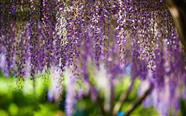 Lên lịch tháng 4 đi Nhật ngắm đường hoa tử đằng kỳ ảo - Ảnh 1.
