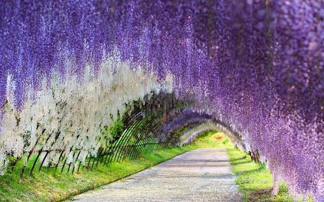 Lên lịch tháng 4 đi Nhật ngắm đường hoa tử đằng kỳ ảo - Ảnh 2.