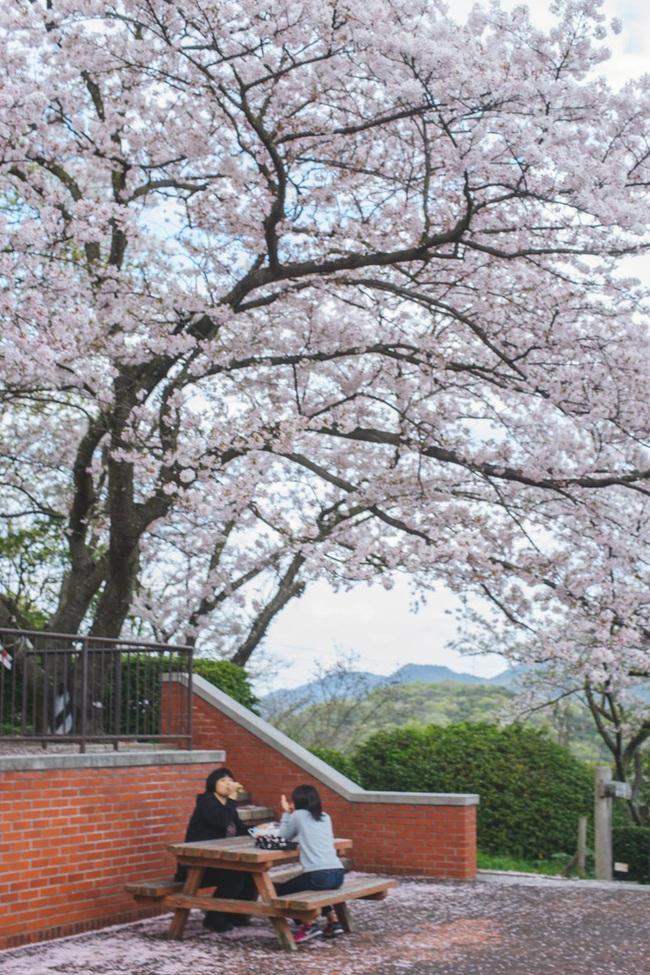 Ra đây mà xem người ta kéo nhau sang Nhật ngắm hoa anh đào hết rồi! - Ảnh 11.