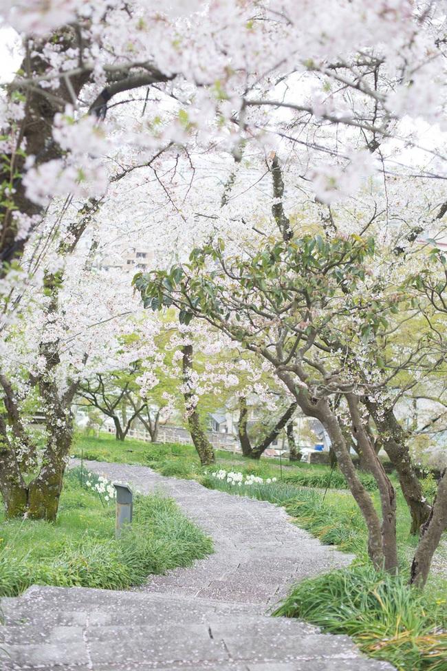 Ra đây mà xem người ta kéo nhau sang Nhật ngắm hoa anh đào hết rồi! - Ảnh 12.
