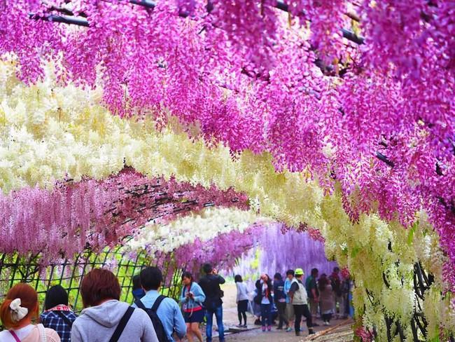 Lên lịch tháng 4 đi Nhật ngắm đường hoa tử đằng kỳ ảo - Ảnh 3.