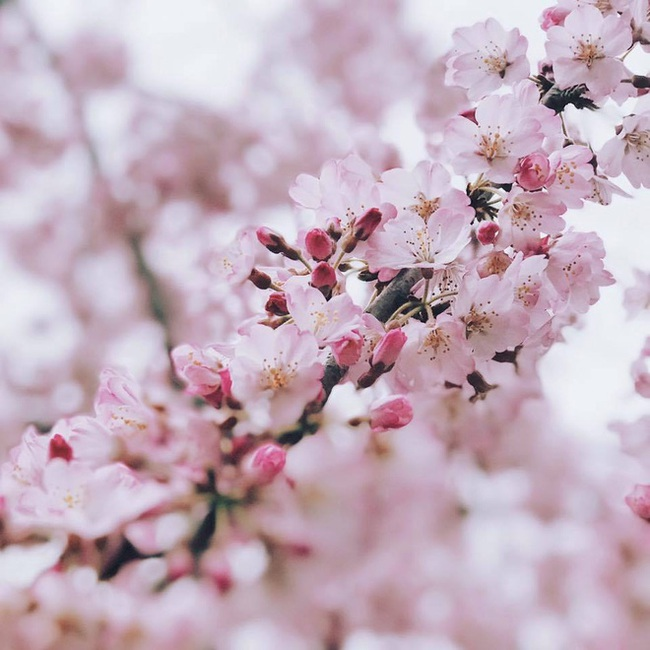 Ra đây mà xem người ta kéo nhau sang Nhật ngắm hoa anh đào hết rồi! - Ảnh 30.