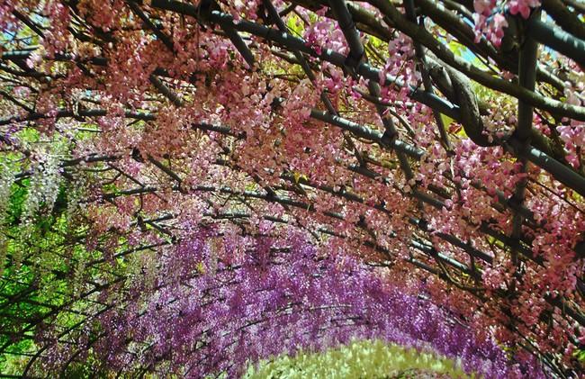 Lên lịch tháng 4 đi Nhật ngắm đường hoa tử đằng kỳ ảo - Ảnh 4.