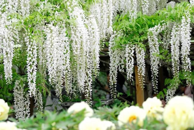 Lên lịch tháng 4 đi Nhật ngắm đường hoa tử đằng kỳ ảo - Ảnh 5.