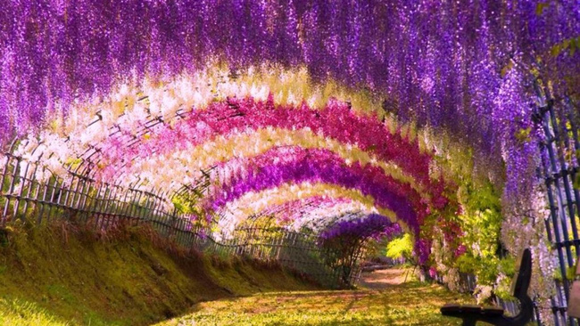 Lên lịch tháng 4 đi Nhật ngắm đường hoa tử đằng kỳ ảo - Ảnh 6.